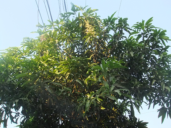 new mango tree