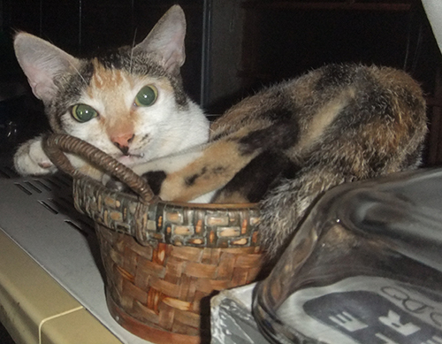 Cordelia sitting in her favorite basket. This was her last photo taken by my daughter.